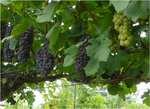 08.8.24-grape.jpg